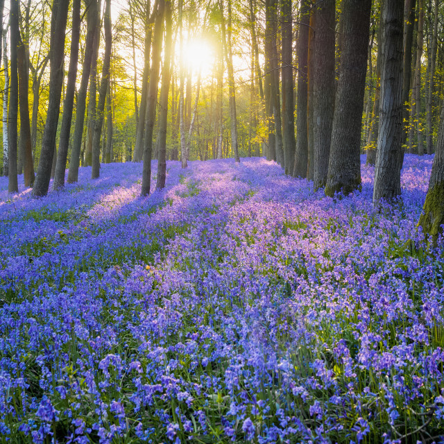 """Bluebells in early morning"" stock image"