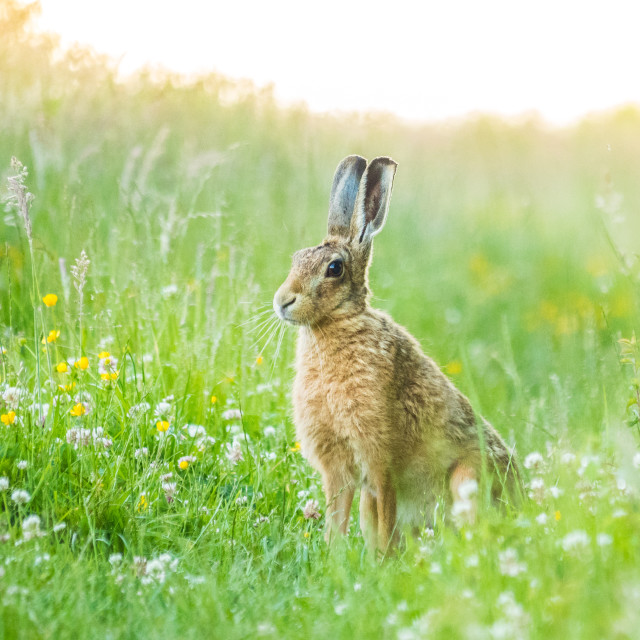 """Hare in meadow"" stock image"