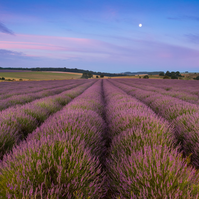 """Lavender fields just before sunrise with setting moon"" stock image"