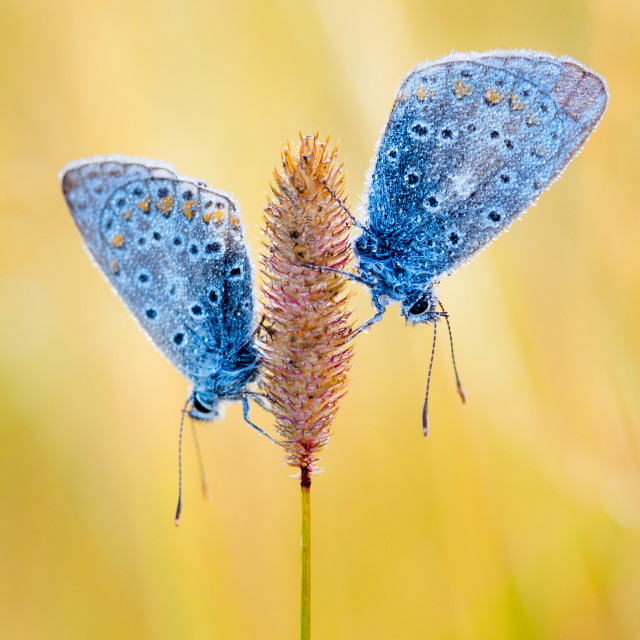 """Symmetrical Common Blue butterflies on a grass stem"" stock image"