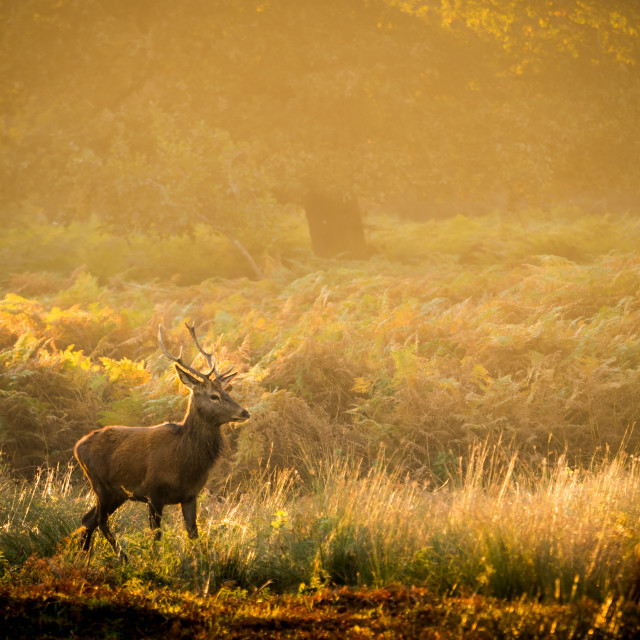 """Red deer stag in Autumn"" stock image"