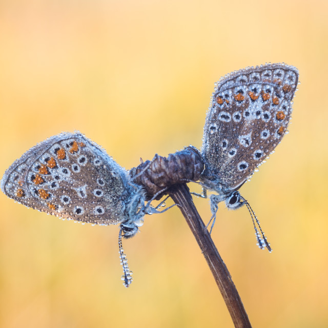 """Two symmetrical Common Blue butterflies on a dried flower stem"" stock image"