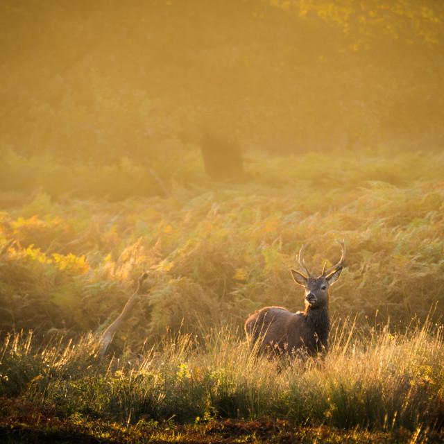 """Redd deer stag in Autum"" stock image"