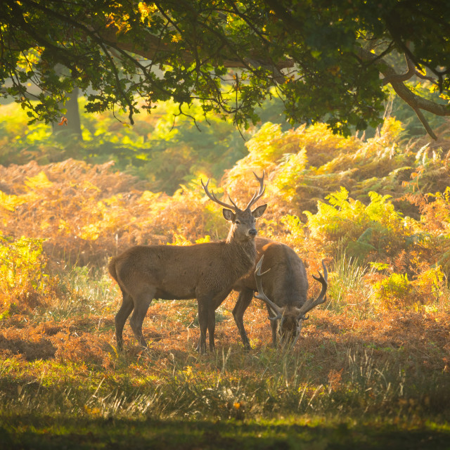 """Two red deer stags in an autumnal glade of trees"" stock image"