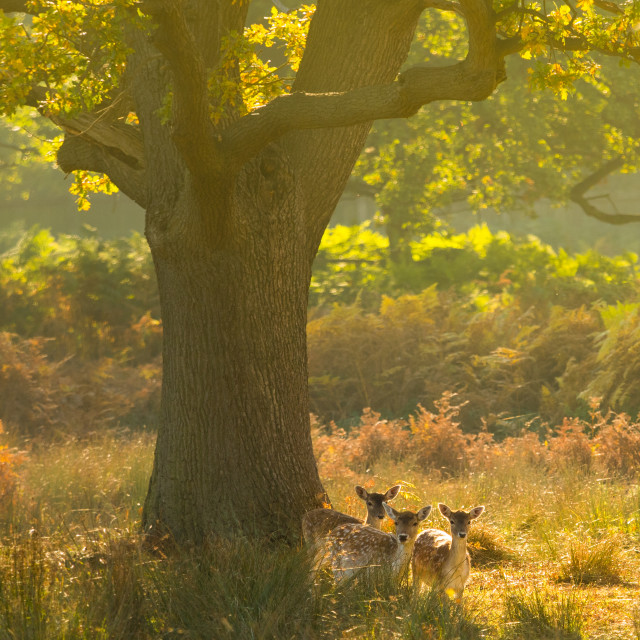 """Three Young Fallow deer in misty Autumn woodland"" stock image"