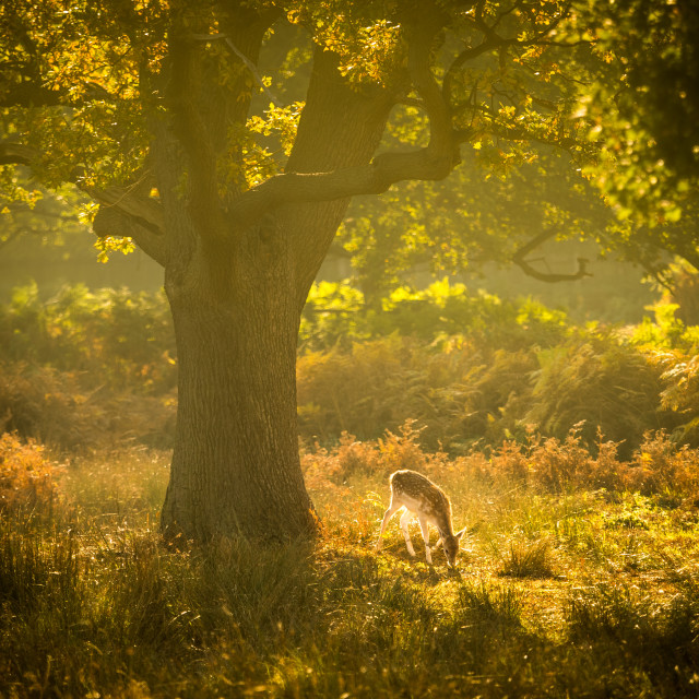 """Fallow deer grazing in golden misty sunlight"" stock image"