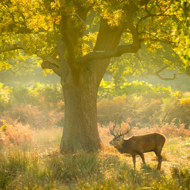 """Red deer in woodland glade with autumn mist"" stock image"