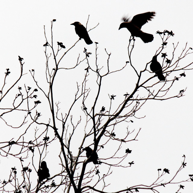 """Crows"" stock image"
