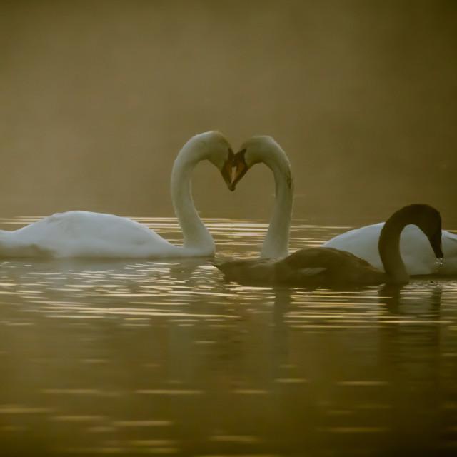 """Swans on a misty lake"" stock image"