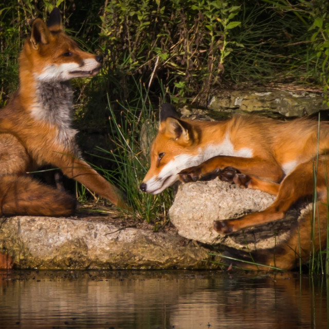 """Pair of Foxes"" stock image"