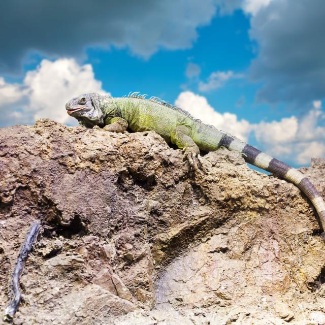 """""""Green iguana on stone"""" stock image"""