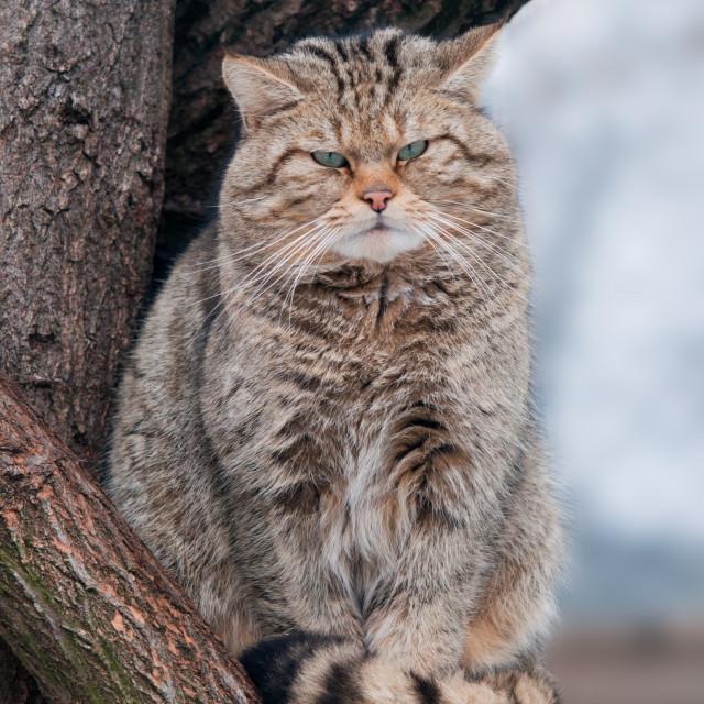 """Wild cat Felis silvestris"" stock image"