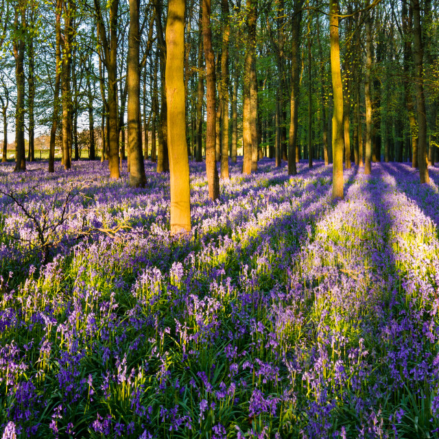 """Long shadows in the Bluebell woods"" stock image"