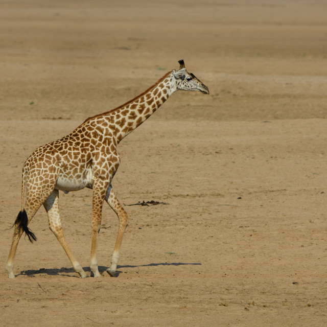 """Giraffe walking across a dried river bed"" stock image"