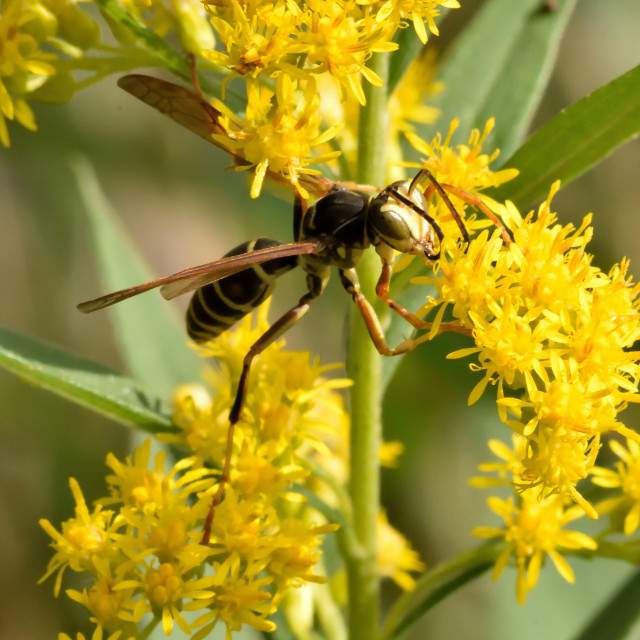 """Yellow Jacket Hornet"" stock image"
