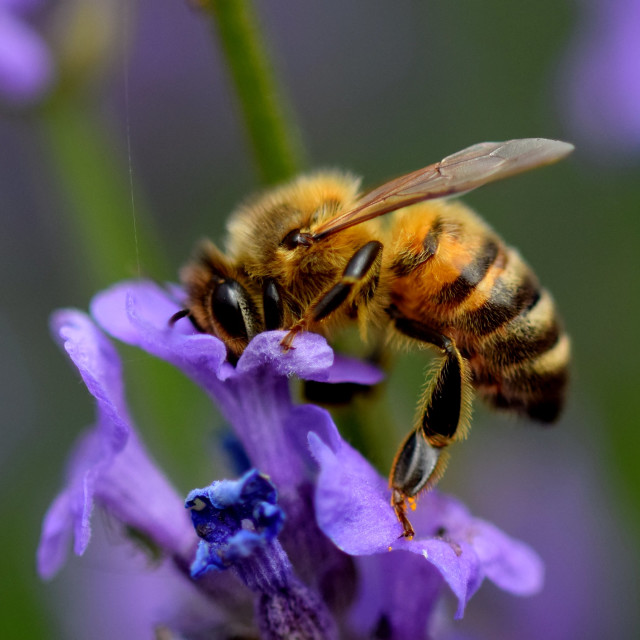 """Honeybee"" stock image"