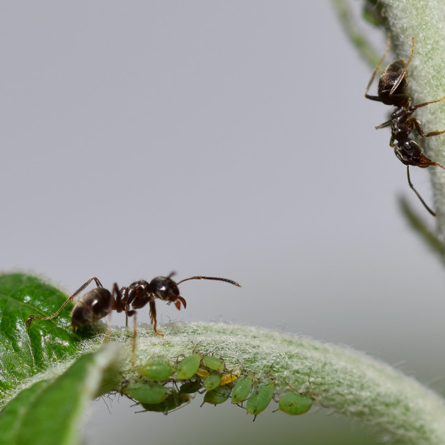 """Black ants macro"" stock image"
