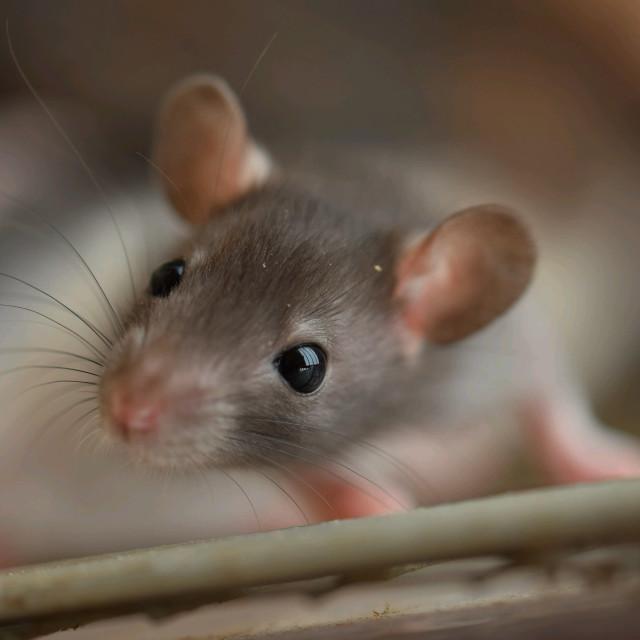 """""""Baby rat"""" stock image"""