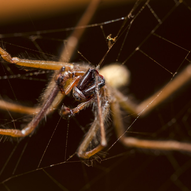 """Cardinal Spider"" stock image"