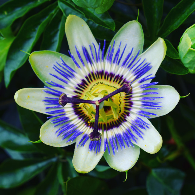 """""""Passion Flower"""" stock image"""