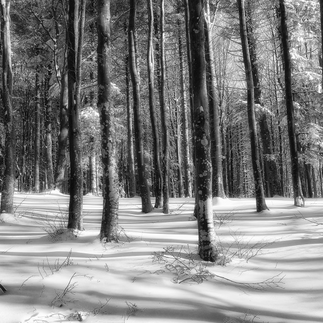 """Snowy forest in winter"" stock image"