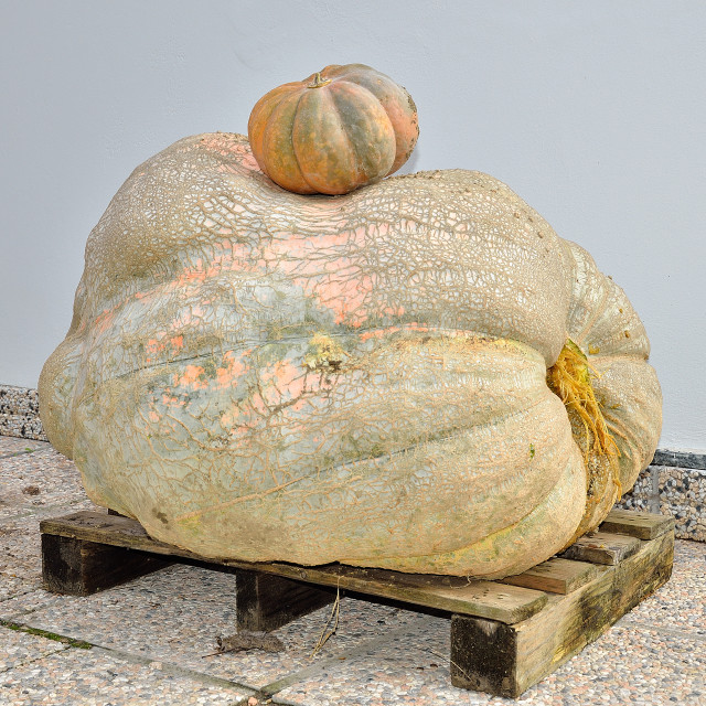 """Giant pumpkin"" stock image"