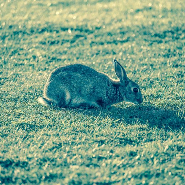 """Resting Rabbit"" stock image"