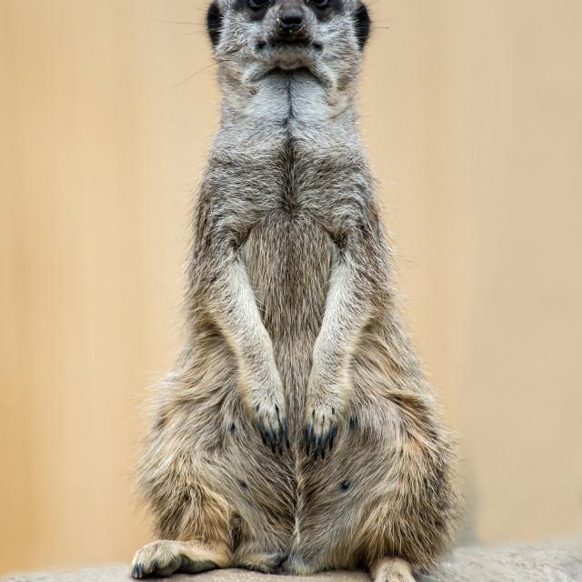 """Meerkat 'Head On'"" stock image"