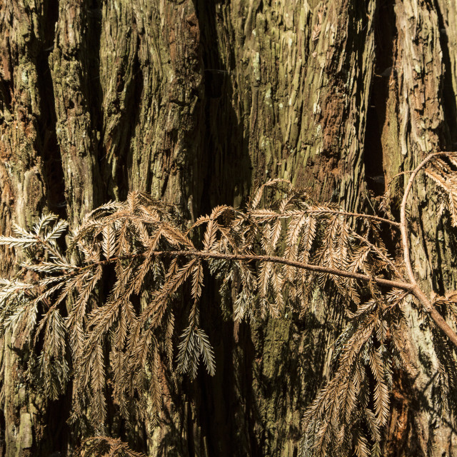"""Pine bark and branch"" stock image"