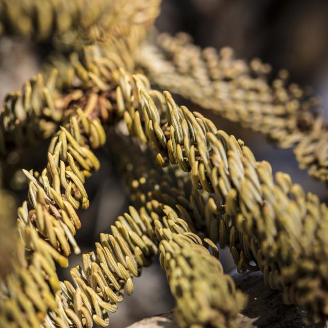 """""""Pine needles"""" stock image"""