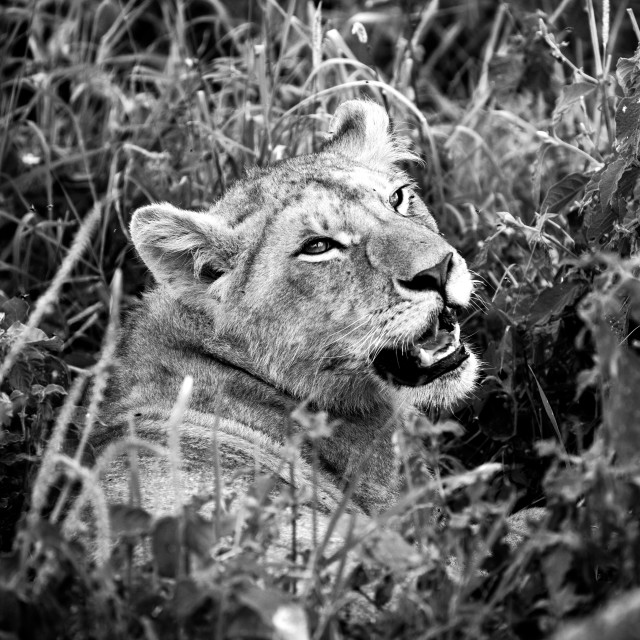 """Lioness in the Serengeti"" stock image"