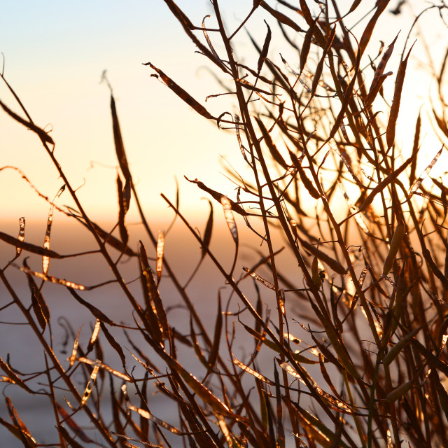 """Sunset through coastal grass"" stock image"