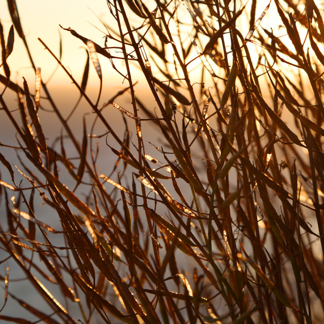 """""""Sunset through seed pods"""" stock image"""