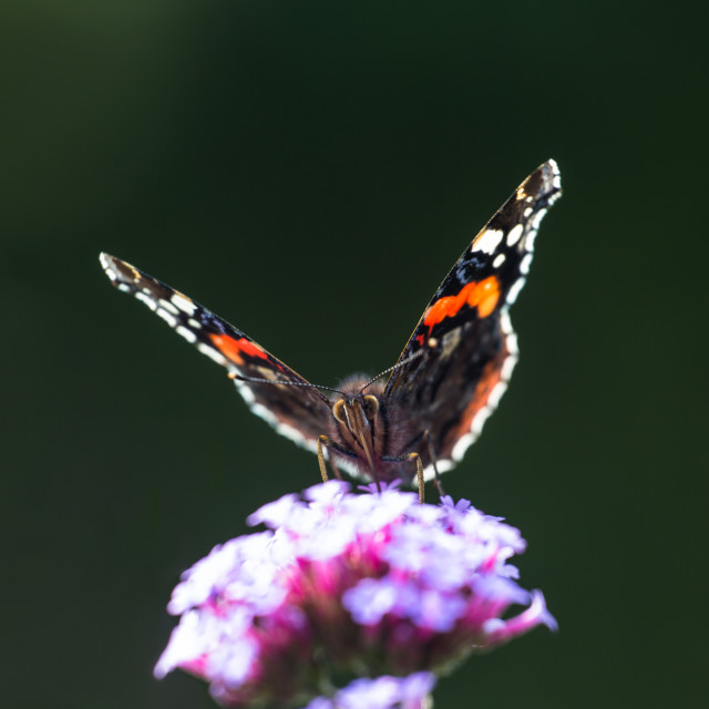 """Red Admiral"" stock image"