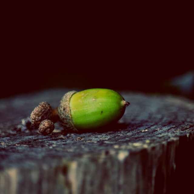 """Acorn on tree stump"" stock image"