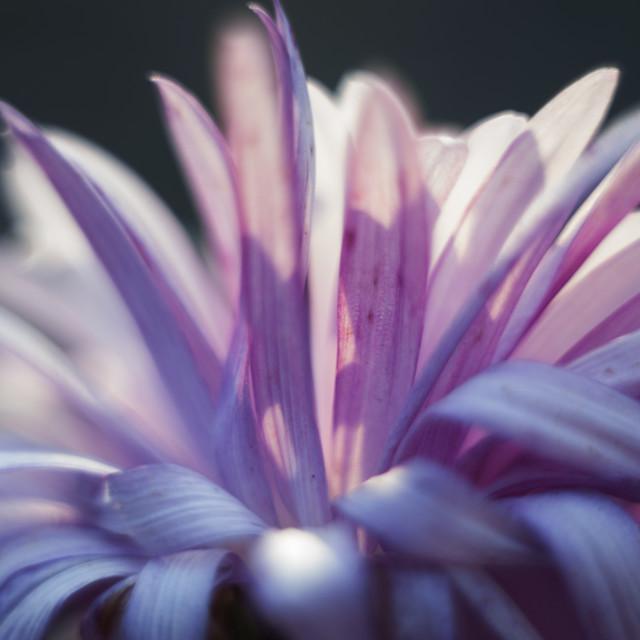 """Astra flower"" stock image"
