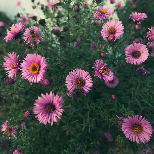 """Autumn Chrysanthemum bush"" stock image"