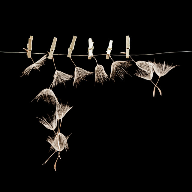 """Dandelion seeds with wooden laundry nippers"" stock image"