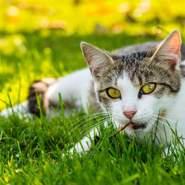 """""""Adult cat plays with old dry leave in the garden"""" stock image"""
