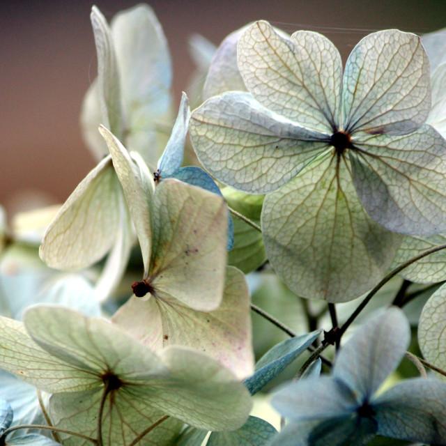 """""""Hydrangea"""" stock image"""