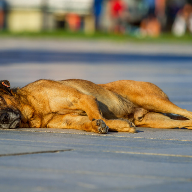 """stray dog lying in the sun"" stock image"