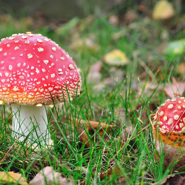 """Fly agaric fungi"" stock image"