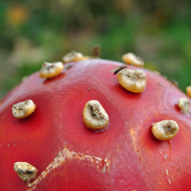 """Fly agaric fungus, closeup"" stock image"