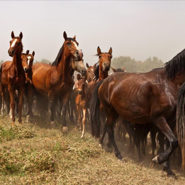 """""""Wild Horses in the Wild"""" stock image"""
