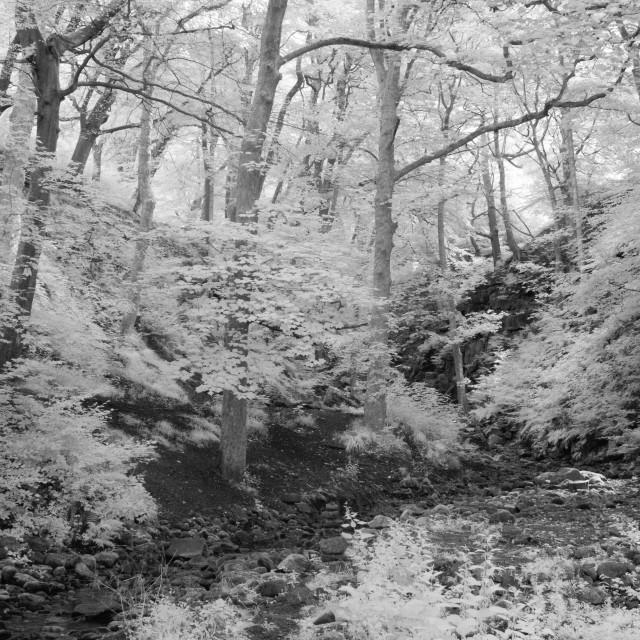 """""""Monochrome woodland."""" stock image"""
