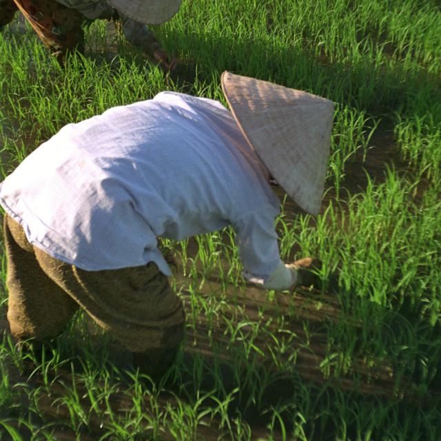 """Vietnam Paddy Fields"" stock image"
