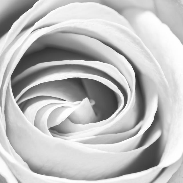 """Black & white rose"" stock image"