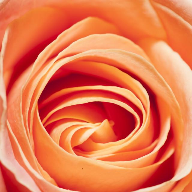 """Close-up Rose"" stock image"