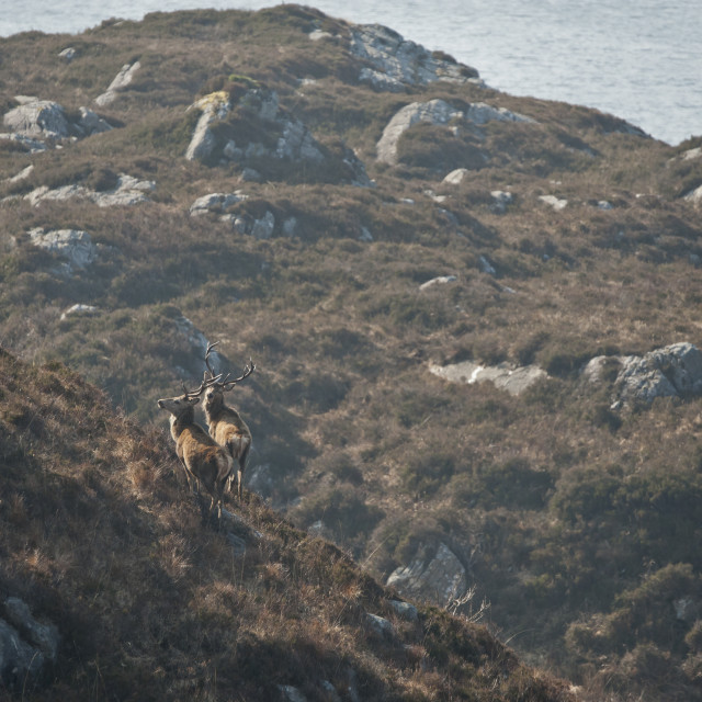 """""""Red Deer of Ardnamurchan"""" stock image"""