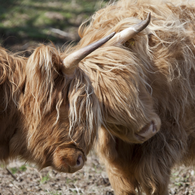 """Highland Cows Rubbing Heads"" stock image"
